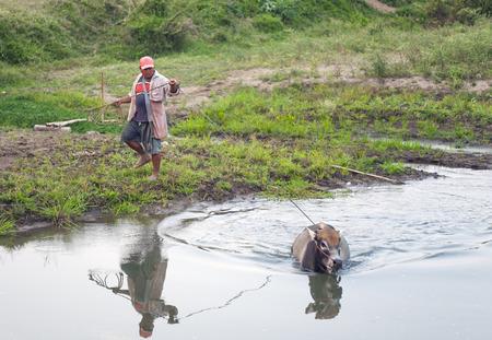 Pai, Thailand - February 20, 2016: A farmer accompanies his cow as she bathes in a river in Pai, Thailand on February 20, 2016.