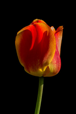 Tulips flower on a black background