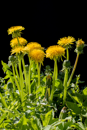 Yellow dandelion flowers on a black background Stock Photo