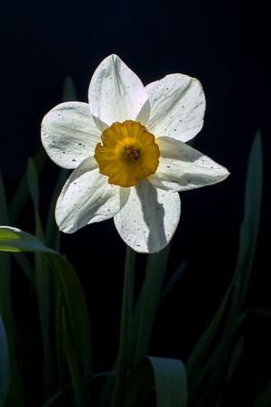 White narcissus flower on a black background