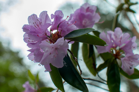 grower: Rhododendron beautiful flower
