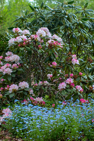Blooming rhododendron bushes