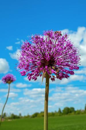 Decorative onion flower