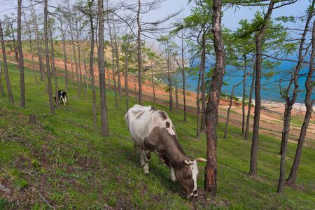 View of a grazing cow on the steep shore of Lake Baikal on Olkhon Island on a summer clear day