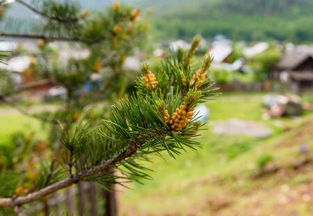 beautiful closeup image of a pine branch with a well blurred background