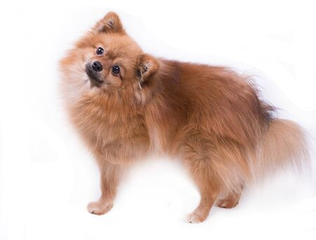 Pomeranian Spitz, fluffy cute ginger dog on white