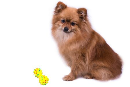 A Pomeranian sits and looks away on white
