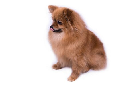 Pomeranian redhead sitting and looking to the side on white Фото со стока