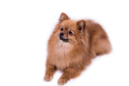 Pomeranian lies and looks to the side on white