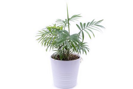 Hamedorea elegans in a pot, houseplant, photo on a white background, object is isolated