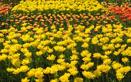many carnations of yellow and red color, closeup photo, image on a sunny summer day Фото со стока