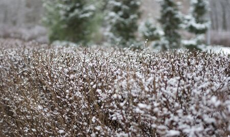 trimmed shrub under snow cover, close-up photo, image on a cloudy, winter day
