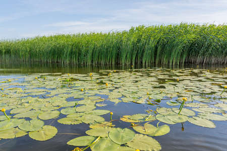 many water lilies on the lake against the background of green reeds and blue sky, photo was taken on a sunny summer day