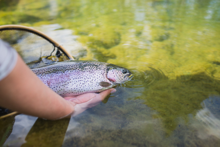 Releasing A Rainbow Trout Back To The River, closeup