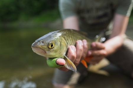 nice chub caught on a bite is going to be released Stock Photo