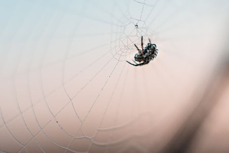 macro photo of spider on web. sunset