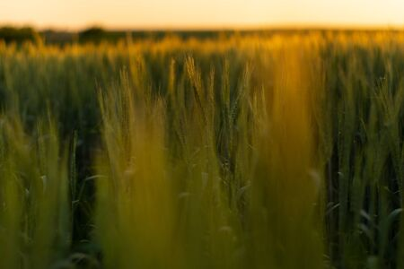 Yellow wheat spike close-up in sunlight glint at sunset