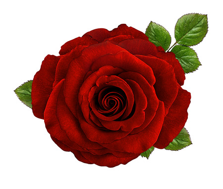 Rose isolated on white 스톡 콘텐츠