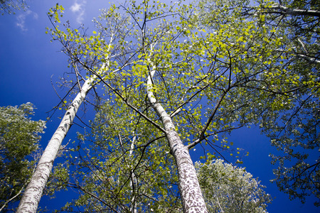 blue top: The warm summer day with sun shining through the tall trees, blue sky