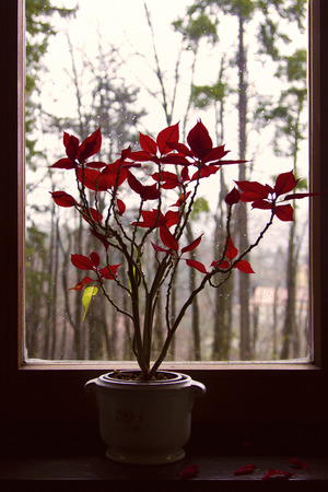 Vase with red flowers on the window in winter