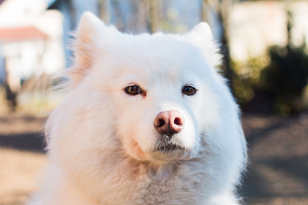 nose close up: White Samoyed dog close up portrait outdoor Stock Photo