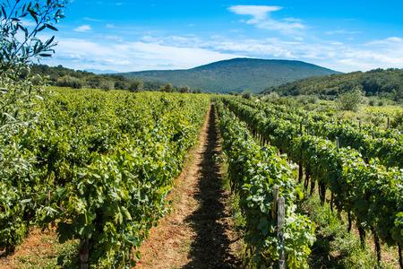 krk: Vineyard in the countryside in Vrbnik, island of Krk, Croatia