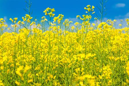 青い空と黄色の菜種