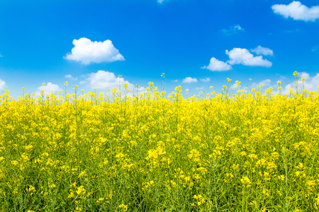 Yellow rapeseed against blue sky