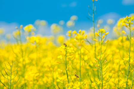 Wasp pollinating yellow rapeseed in field