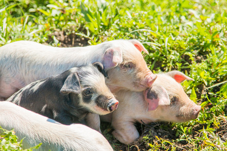 Three small cute piglets on the field in nature park Lonjsko polje, Croatia