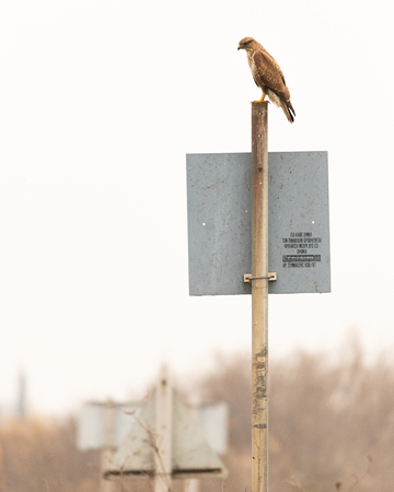 Hawk sitting on a street sign in Porto Lagos, Rodopi, Greece