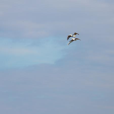Pelicans flying in the blue sky Archivio Fotografico