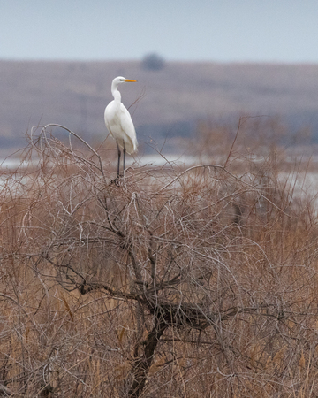 White heron standing on a leafless tree in Arogi, Rodopi, Greece during winter time