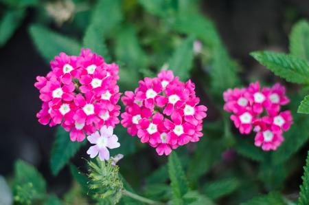 beautiful achillea in the garden, bright colors, green, pink, white