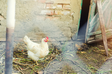 Chickens on the farm, farming, village Stock Photo