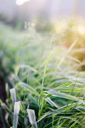 Glyceria maxima Variegata, long-term grass, ornamental grass, selective focus. nature wallpaper     Stock Photo