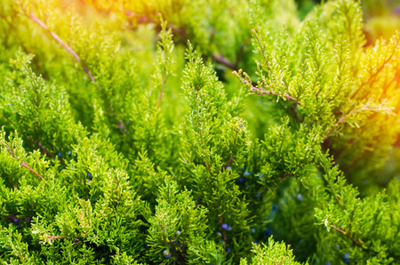 Green young juniper branches close up. Background with juniper branches. Juniper berries. sunny day. nature wallpaper. Spring. summer
