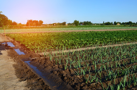 Rows of young vegetable seedlings. field with seedlings. leek, zucchini, and pepper. natural watering. countryside. irrigation   Stock Photo