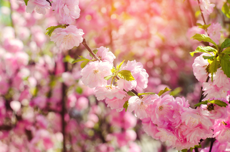 A rose bush blooms in the spring with pink flowers natural a rose bush blooms in the spring with pink flowers natural wallpaper background for mightylinksfo