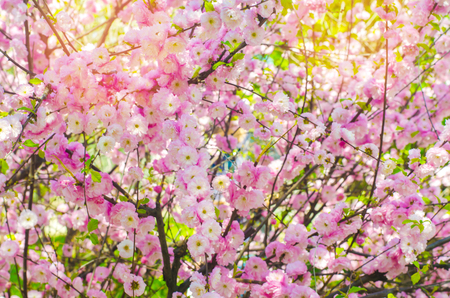 Pink bush blossoms in spring with pink flowers natural wallpaper pink bush blossoms in spring with pink flowers natural wallpaper concept of spring mightylinksfo