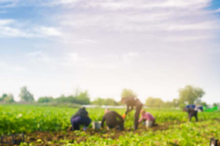 Arbeiter arbeiten auf dem Feld, Ernte, Handarbeit, Landwirtschaft, Landwirtschaft, Agrarindustrie in Ländern der Dritten Welt, Arbeitsmigranten, verschwommener Hintergrund