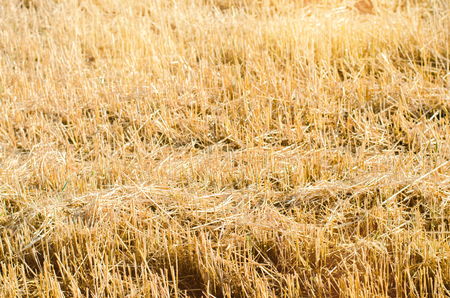 field of rye with beveled strips during harvesting. Summer agriculture rural. Straw from wheat beveled. background for design. farming Stock Photo