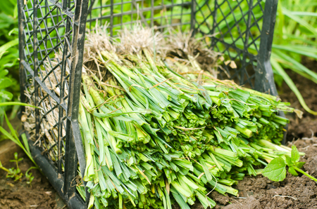 seedlings of leeks are ready for planting in the field. Agriculture, vegetables, organic agricultural products, agro-industry Stock Photo