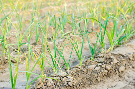 leek growing in the field. Agriculture, vegetables, organic agricultural products, agro-industry. farmlands. Stock Photo