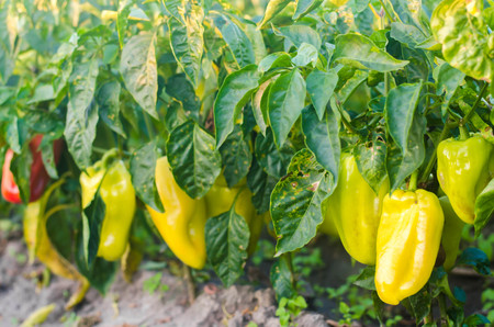 pepper disease is caused by the Phytophthora infestans virus. Agriculture, farming, crops. disease of vegetables on the field