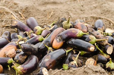 rotten spoiled eggplant vegetables lie on the field. poor harvest concept. production waste, plant disease. agriculture, farming. utilization of agro-industrial waste. compost. crop failure
