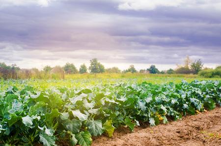 broccoli growing in the field. fresh organic vegetables agriculture farming. farmland