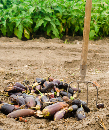 rotten spoiled eggplant vegetables lie on the field. poor harvest concept. production waste, plant disease. agriculture, farming. farmer and seasonal job. selective focus
