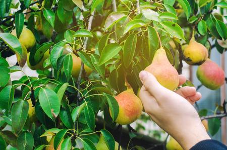 giardiniere che raccoglie le pere in giardino in una giornata di sole. raccolto autunnale. verdure sane, vitamine dietetiche