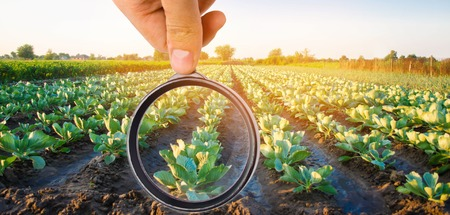 The food scientist checks the cabbage for chemicals and pesticides. healthy vegetables. pomology. farming. harvesting. agriculture crop. selective focus